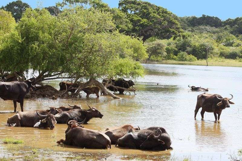 Waterbuffels in Yala national park